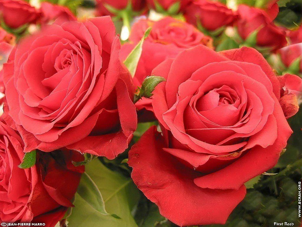 Fond d 39 cran de les roses de la cote d 39 azur provence par for Fond ecran rose